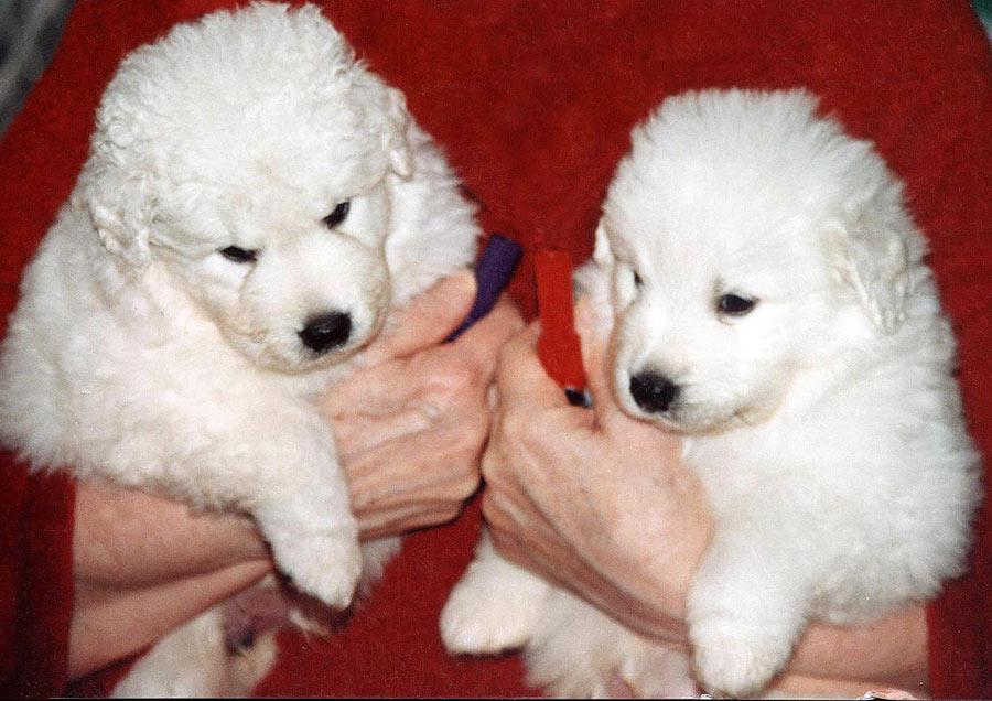New Litter Of Kuvasz Puppies At Double Ring Kuvasz In Mo