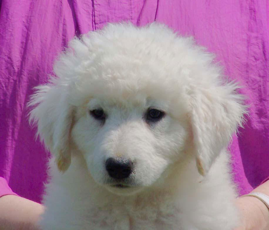 upcoming-litters-kuvasz-puppies
