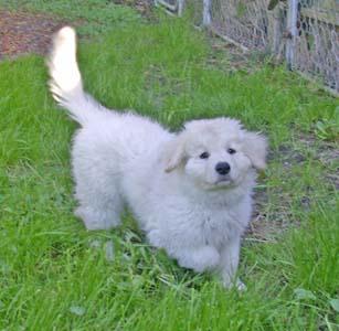 kuvaz-care-tilla-pup