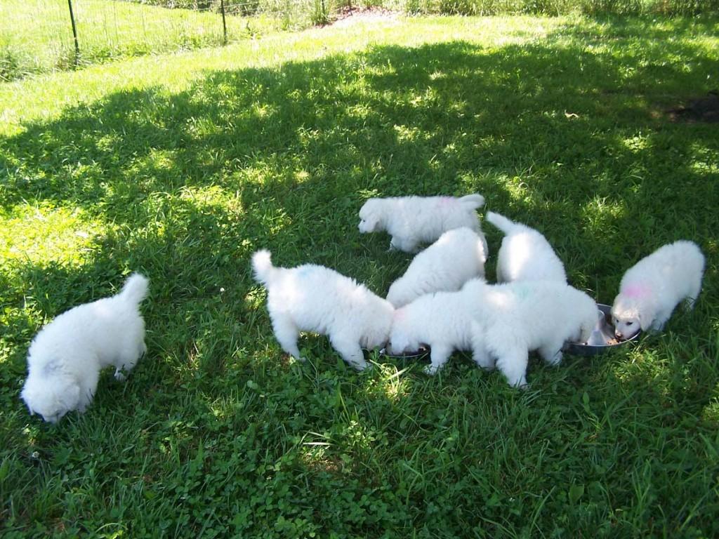 puppy-toni-liter-7wks