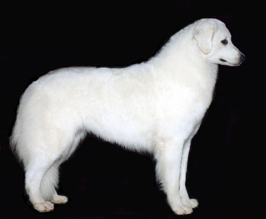 Double Ring Kuvasz - Home to Generations of Champions!