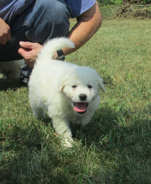 Kuvasz Puppy Update At 5 Weeks Old Double Ring Kuvasz