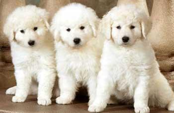 DOUBLE RING KUVASZ puppies